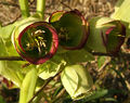 2007-04-06Helleborus foetidus25.jpg
