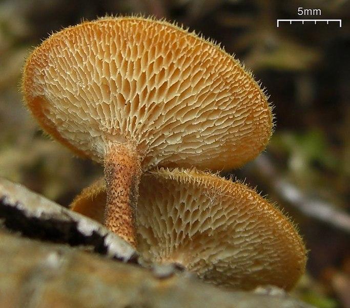 File:2009-08-13 Polyporus auricularius crop.jpg
