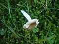 2012-09-18 Russula nauseosa (Pers.) Fr 311414.jpg