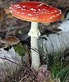 2012-10-20 Amanita muscaria anagoria.JPG