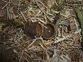 2013-04-28 Discina melaleuca Bres 324946.jpg