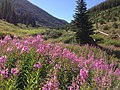 2013-08-09 09 32 30 Pink-purple wildflowers and subalpine fir trees near the Jarbidge River in the upper Jarbidge River Canyon in Elko County, Nevada.jpg