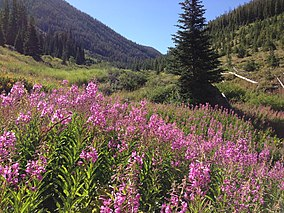 2013-08-09 09 32 30 Pink-purple wildflowers and subalpine fir trees near the Jarbidge River in the upper Jarbidge River Canyon in Elko County, Nevada.jpg