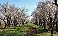 2013 Spring blossoms of Shahr-e Kord 19.jpg