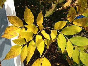 Fraxinus pennsylvanica - Autumn leaf color