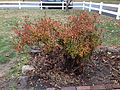 2014-12-20 13 13 06 Azalea cultivar 'Rosebud' during early winter along Terrace Boulevard in Ewing, New Jersey.JPG