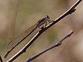 2014.03.09.-01-Kaefertaler Wald-Mannheim-Gemeine Winterlibelle-Weibchen.jpg
