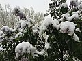 2015-05-07 07 40 45 New leaves and flowers covered by a late spring wet snowfall on Lilacs on South 1st Street in Elko, Nevada.jpg