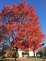 2015-11-20 09 39 32 Red Maple cultivar during autumn at the intersection of Tranquility Lane and Tranquility Court in the Franklin Farm section of Oak Hill, Fairfax County, Virginia.jpg
