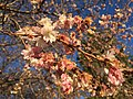 2016-01-03 15 54 23 Autumn Cherry blossoms along 25th Street at Washington Boulevard in Arlington County, Virginia.jpg