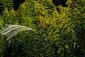 2016-10-15 Solidago canadensis,IN Sasayama,Hyogo セイタカアワダチソウ(篠山市) DSCF1301.jpg