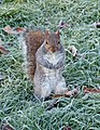 2016 Woolwich, St Mary's Gardens, squirrel.jpg