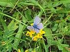 2018-06-01 (138) Lycaenidae (gossamer-winged butterfly) at Bichlhäusl in Frankenfels, Austria.jpg