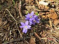 2019-03-03 (101) Hepatica nobilis (Liverleaf) at Haltgraben, Frankenfels, Austria.jpg