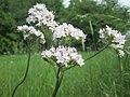 20190525Valeriana officinalis1.jpg