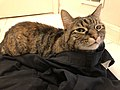 2020-03-25 02 30 26 A tabby cat lying in a pair of pants in the Franklin Farm section of Oak Hill, Fairfax County, Virginia.jpg