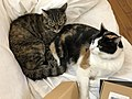 2020-04-26 16 25 09 A Calico cat and a tabby cat cuddling on a couch in the Franklin Farm section of Oak Hill, Fairfax County, Virginia.jpg