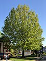 2020-05-10 18 33 07 Pin Oak leafing out in spring along Scotsmore Way in the Chantilly Highlands section of Oak Hill, Fairfax County, Virginia.jpg