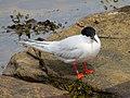 2020-07-18 Sterna dougallii, St Marys Island, Northumberland 12.jpg