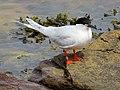 2020-07-18 Sterna dougallii, St Marys Island, Northumberland 15.jpg