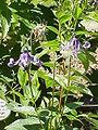 450px-Clematis integrifolia1.jpg