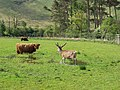 A Highland stand-off - geograph.org.uk - 182187.jpg