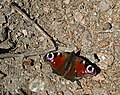 A Peacock Butterfly - geograph.org.uk - 148018.jpg