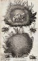 A bee's nest; external and internal views. Etching by M. Gri Wellcome V0022510.jpg