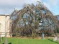 A beech (weeping) at Church of Saint Nicholas, Walcot, Lincolnshire, England 02.JPG