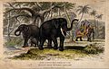 A female and a male asiatic elephant with their young and a Wellcome V0021275.jpg