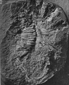 A monograph of the terrestrial Palaeozoic Arachnida of North America photos 6-10 6.png