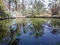 A reflection of the palm trees in a pool of irrigation in Figuig.jpg
