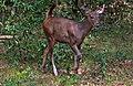A young Sambar deer is gracefully walking towrds us.jpg