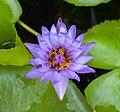 Abejas (Tetragonula laeviceps) en un Nymphaeaceae sp, Gran Palacio, Bangkok, Tailandia, 2013-08-22, DD 01.jpg