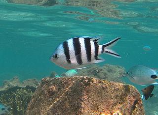 Scissortail sergeant species of fish