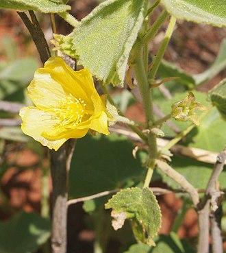Abutilon otocarpum - Abutilon otocarpum flower