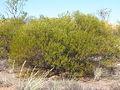 Acacia ancistrocapa habit.jpg