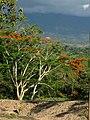 Acacia roja - Flamboyán (Delonix regia) (14298809943).jpg