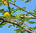 Acacia smallii 2.jpg