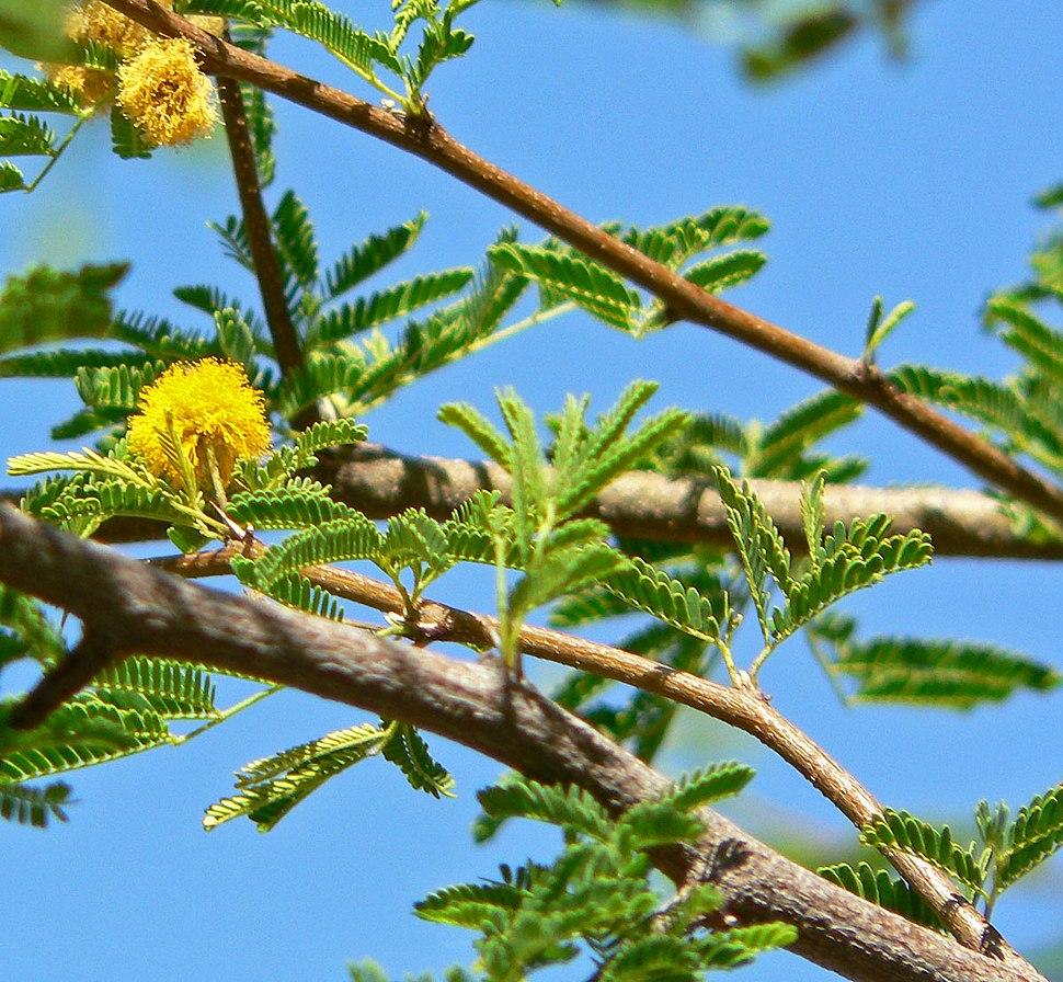 Acacia smallii 2