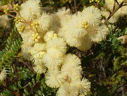 Acacia terminalis – Wikipédia, a enciclopédia livre
