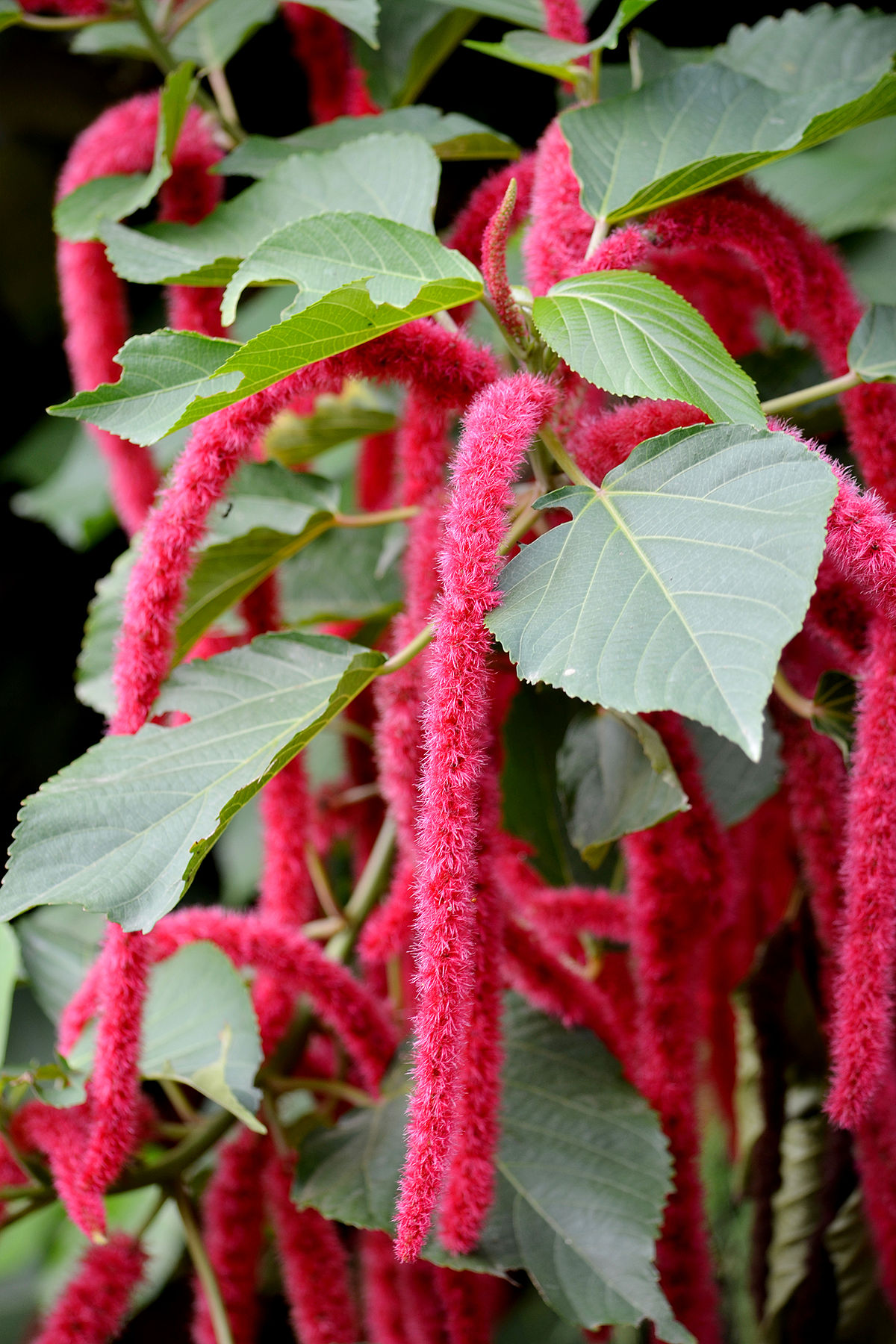 Acalypha Hispida Wikipedia