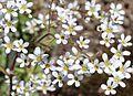 Acantholimon olivieri (Jaub. et Spach) Boiss. (Plumbaginaceae)-1F.JPG