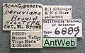 Acanthoponera peruviana castype06889 label 1.jpg