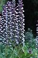 Acanthus mollis IMG 0091.jpg