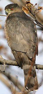 Coopers hawk species of bird