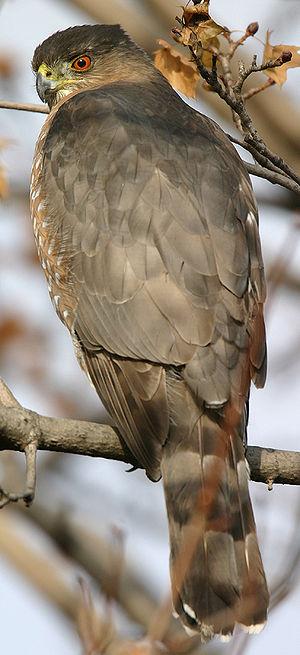 Cooper's hawk - Image: Accipiter cooperii 01