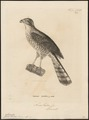 Accipiter tachiro - 1700-1880 - Print - Iconographia Zoologica - Special Collections University of Amsterdam - UBA01 IZ18300095.tif
