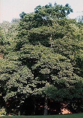 Acer-pseudoplatanus.jpg