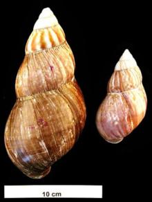 due gusci di esemplari adulti di Achatina fulica
